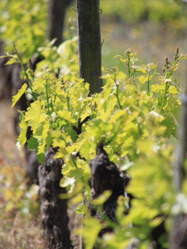 Vigne du domaine almoric, domaine viticole en Drôme provençale