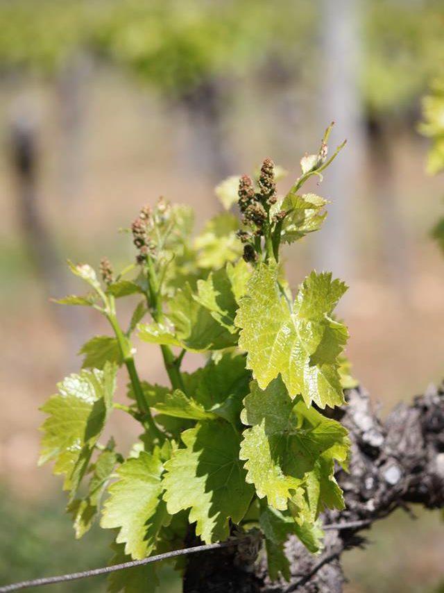 Vigne au printemps du domaine almoric, domaine viticole à Allan dans la Drôme